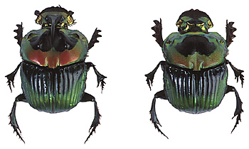 Dung Beetle Benefits in the Pasture Ecosystem.