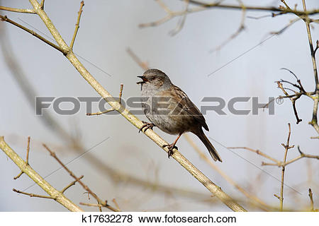 Pictures of Dunnock or hedge sparrow, Prunella modularis k17632278.
