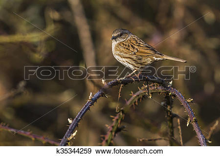 Stock Photograph of Dunnock (Prunella modularis) k35344259.