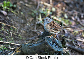 Pictures of Dunnock, Prunella modularis, Single bird in snow.