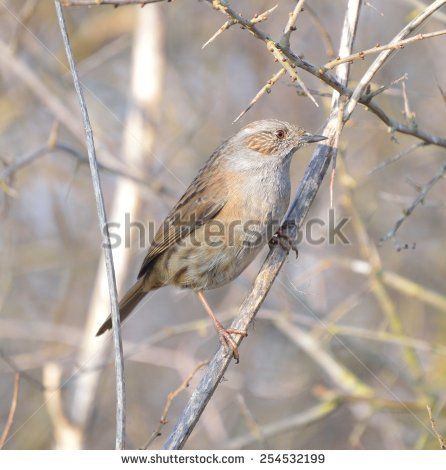 Hedge Sparrow Stock Photos, Royalty.