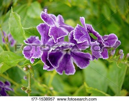 Picture of Duranta erecta, Duranta repens, Sky flower, Golden Dew.