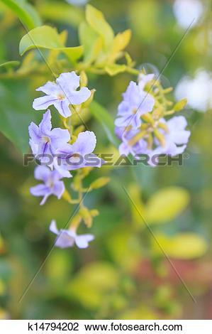 Stock Photo of Colorful tropical flowers (Duranta erecta.