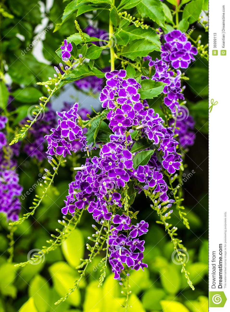 Duranta Erecta Purple Stock Photos.