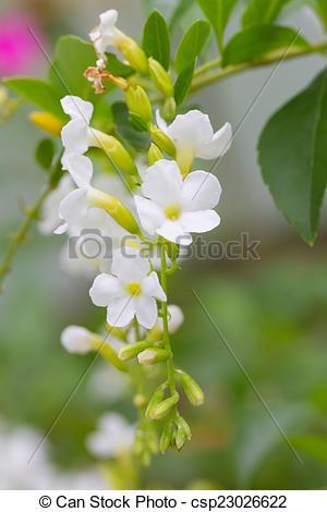 Stock Photo of Duranta or Golden dewdrop flower csp23026622.