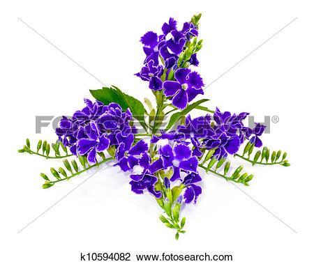 Stock Photo of Violet color of Duranta erecta L. Verbenaceae.