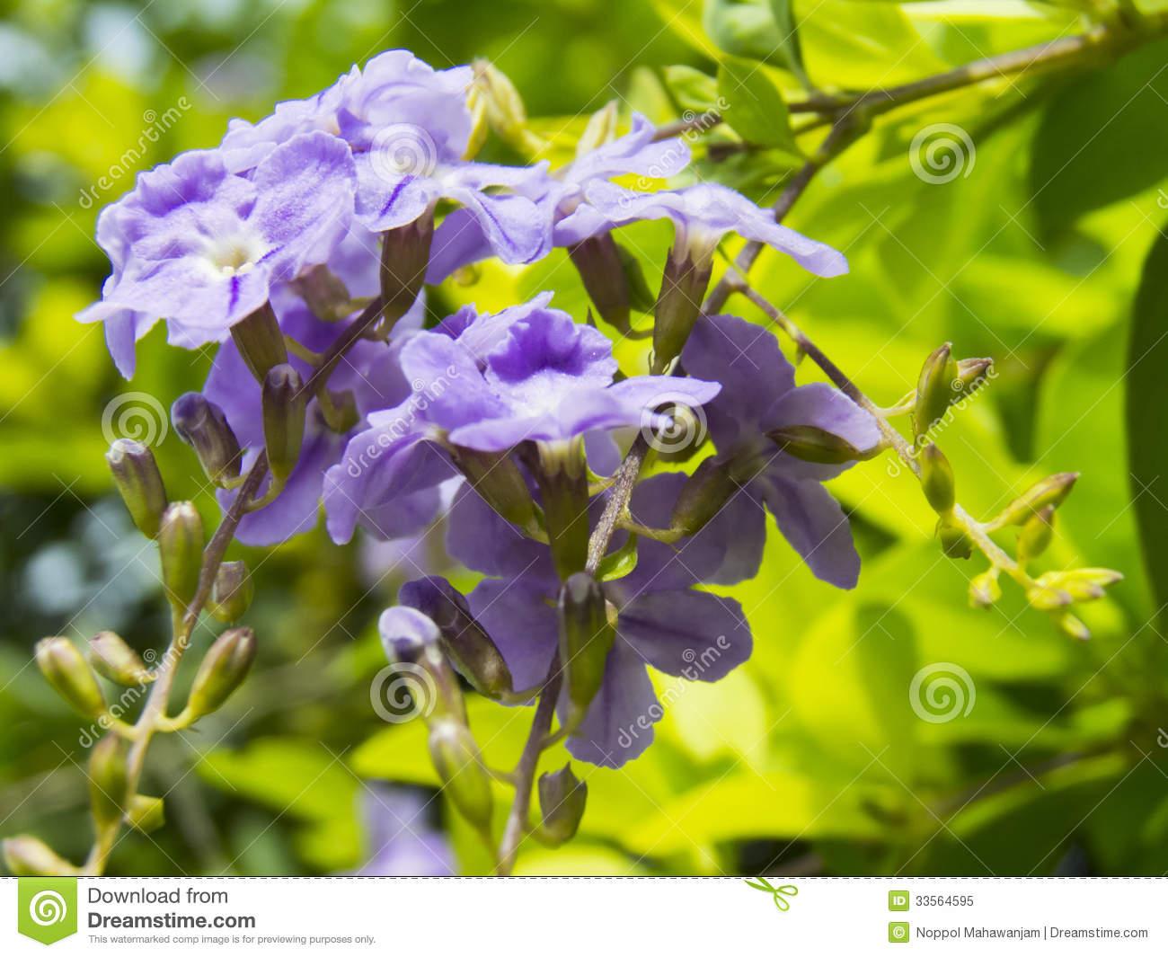 Duranta Erecta Or Golden Dewdrop Flowers. Royalty Free Stock Photo.
