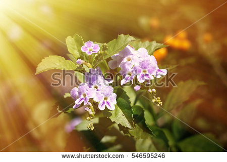 Duranta Repens L Stock Photos, Royalty.