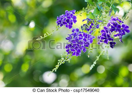 Stock Photo of Purple blue Duranta flower (Duranta erecta), aka.