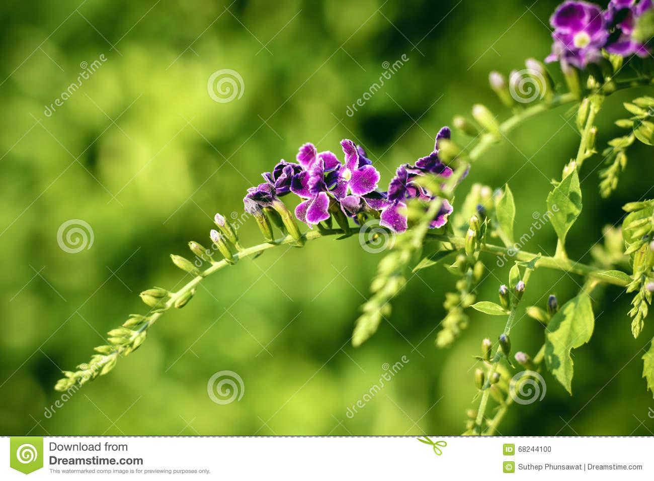 Purple Duranta Erecta Flowers On Duranta Erecta Tree Stock Photo.