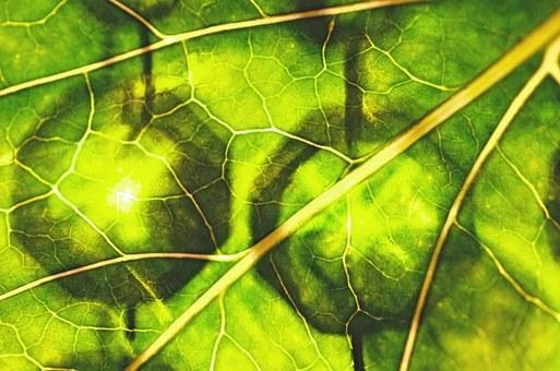 Chlorophyll.