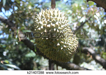 Pictures of A durio fruit on a durio tree k21407288.