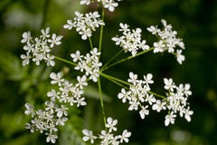 White Yarrow Flowers Or Achillea Millefolium Flowers Stock Vector.
