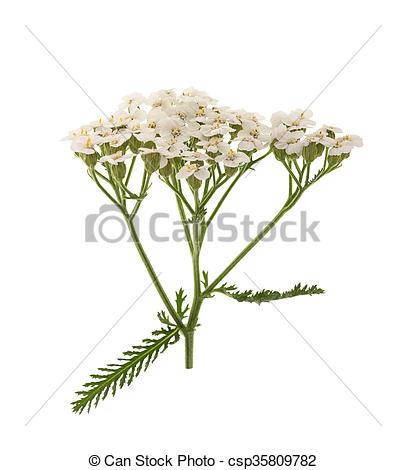 Plaatjes van witte, Duizendblad, Bloemen, Vrijstaand, op, witte.