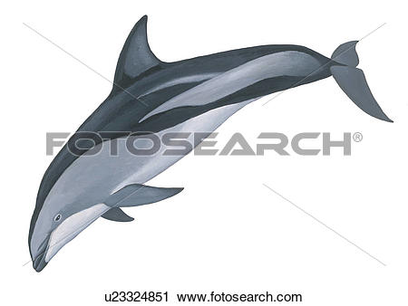 Stock Photography of Illustration of a Dusky dolphin.