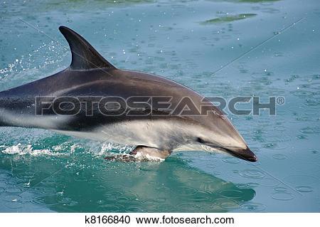 Stock Photography of Dusky Dolphin k8166840.
