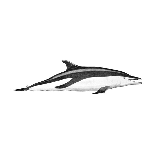 1151 Dusky Dolphin (free download).