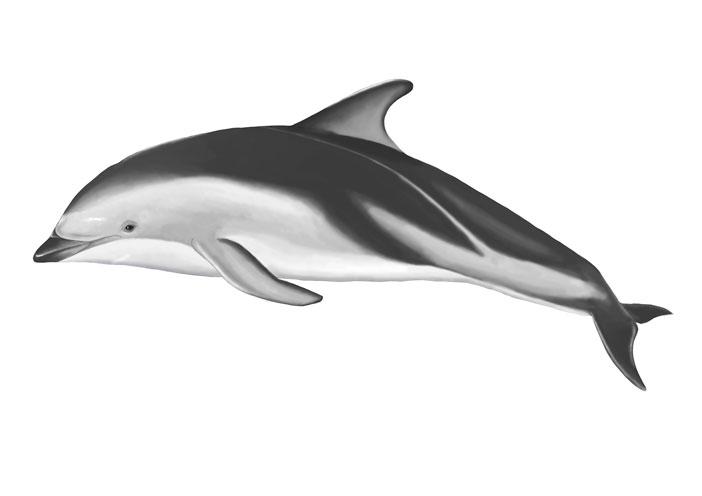 dusky dolphin digital.