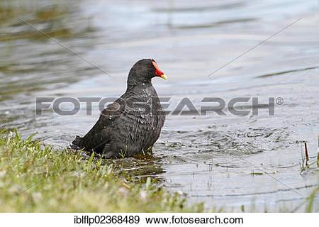 "Stock Photograph of ""Dusky Moorhen (Gallinula tenebrosa), adult."