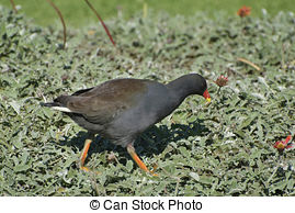 Stock Photography of Dusky Moorhen.