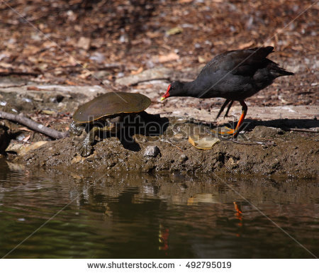 Moorhen Stock Photos, Royalty.