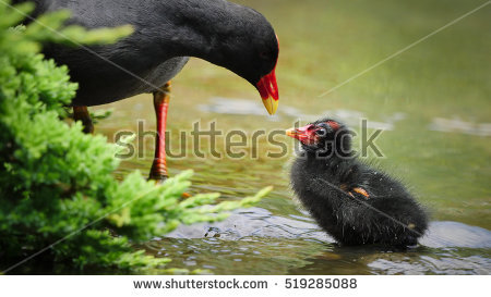 Gallinule Stock Photos, Royalty.