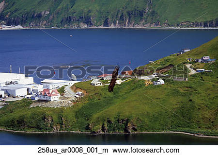 Stock Photo of Aerial view of Bald Eagle flying over Unalaska.