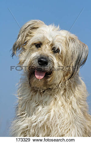 Stock Photograph of Catalan Sheepdog.