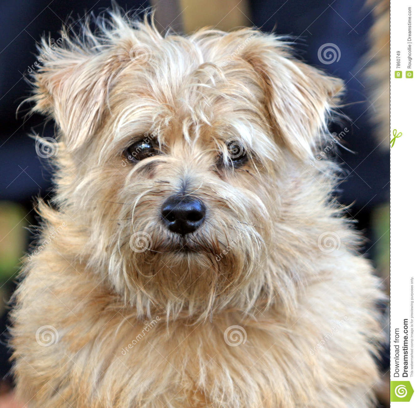 Norfolk Terrier Clipart.