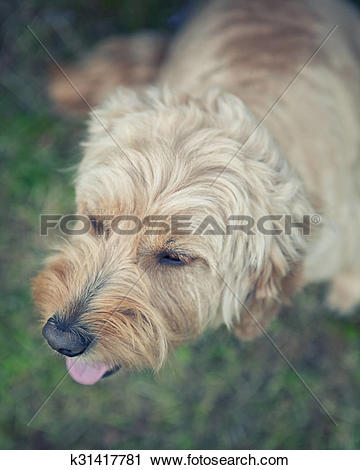 Stock Photography of Top view of dog with his tongue out k31417781.