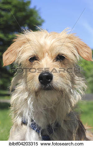 Stock Image of Terrier Dachshund crossbreed, male dog, 1 year old.