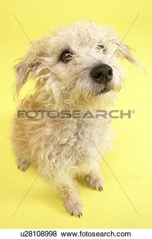 Pictures of Small Mongrel Dog Sitting In Studio u28108998.