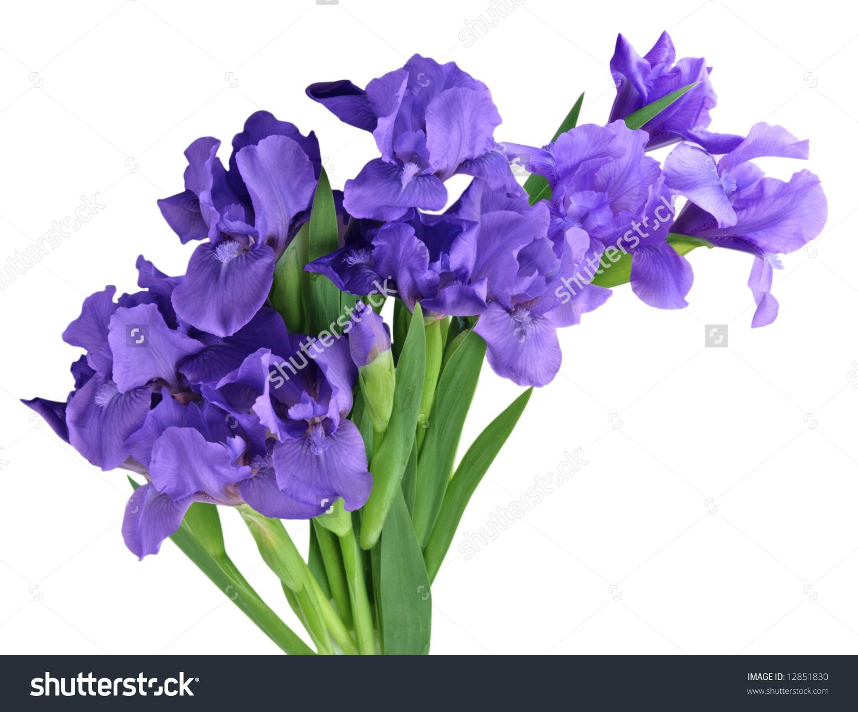Dwarf Iris Flowers Isolated On White Stock Photo 12851830.