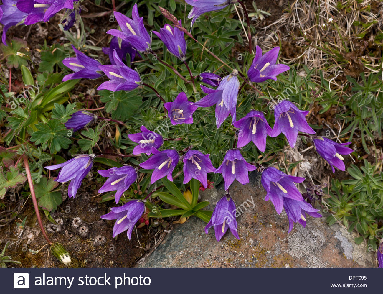 Wildflower Bellflower Campanula Stock Photos & Wildflower.