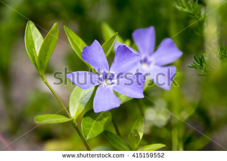 Common Periwinkle Stock Photos, Royalty.