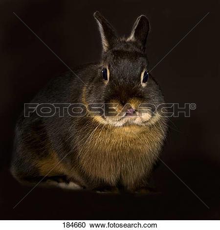 Stock Photography of Dwarf Rabbit, Netherland Dwarf. A black.
