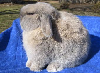 Holland Lop Rabbits.