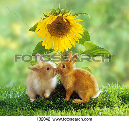 Stock Photo of two dwarf rabbits in front of sunflower 132042.
