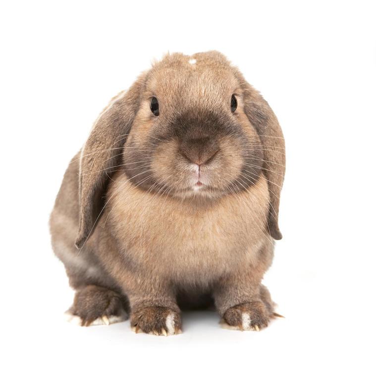 Minilop rabbit clip art.
