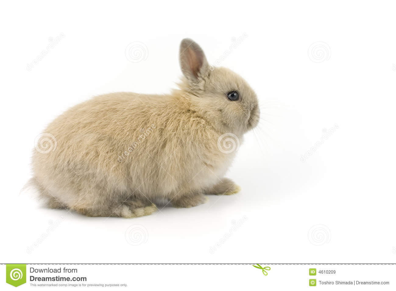 Baby Of Netherland Dwarf Rabbit Royalty Free Stock Images.