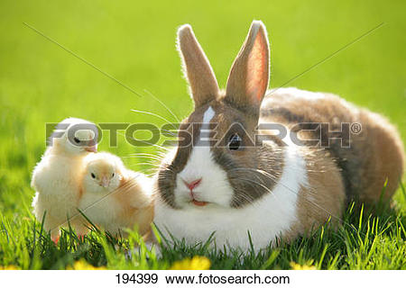 Stock Photograph of Netherland Dwarf rabbit. Adult in grass with.