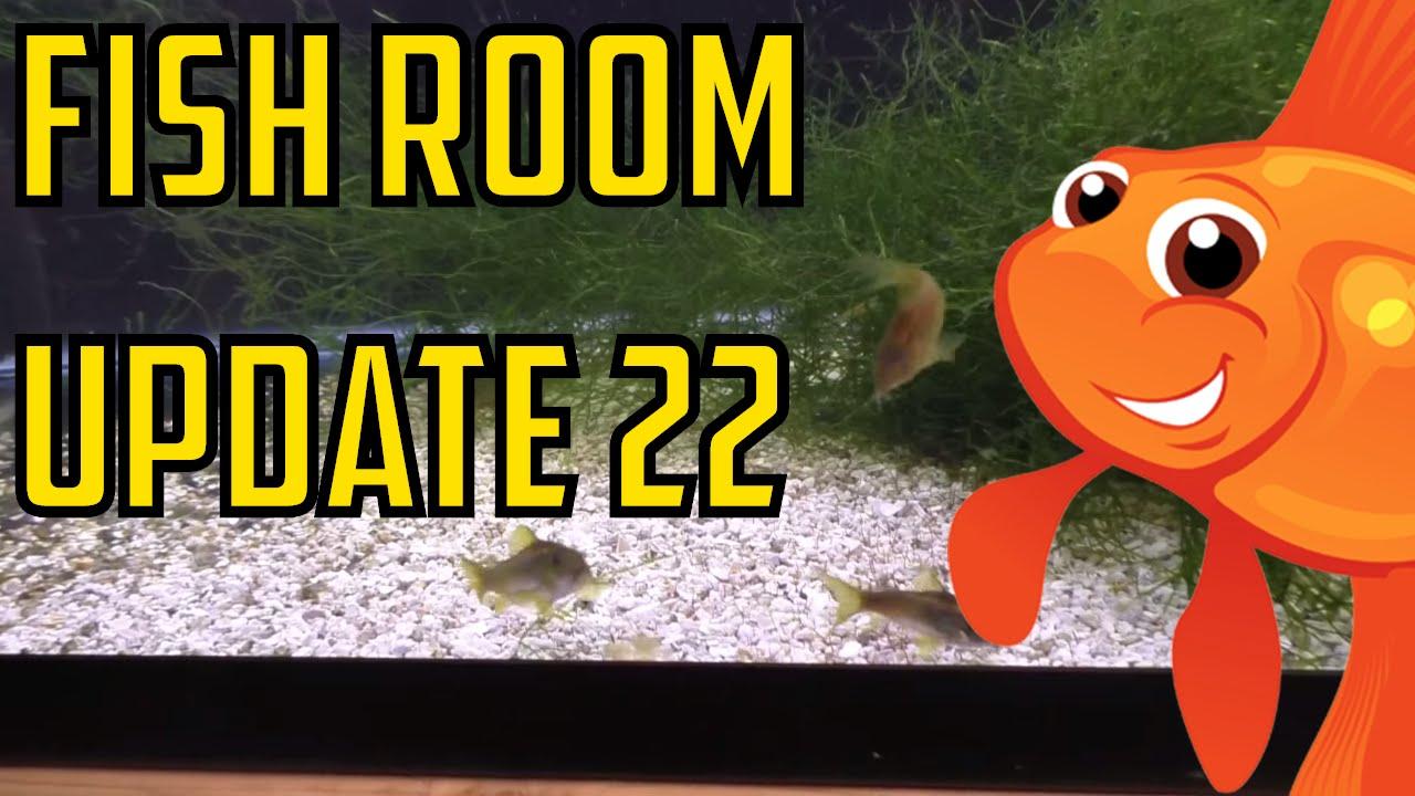 Fish Room Update #22 Orange Laser Corydoras Spawning.