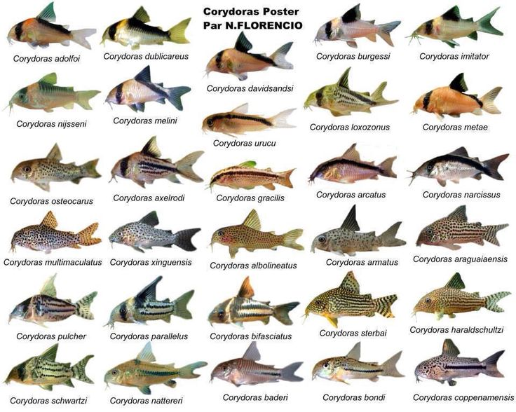1000+ images about Cory catfish on Pinterest.