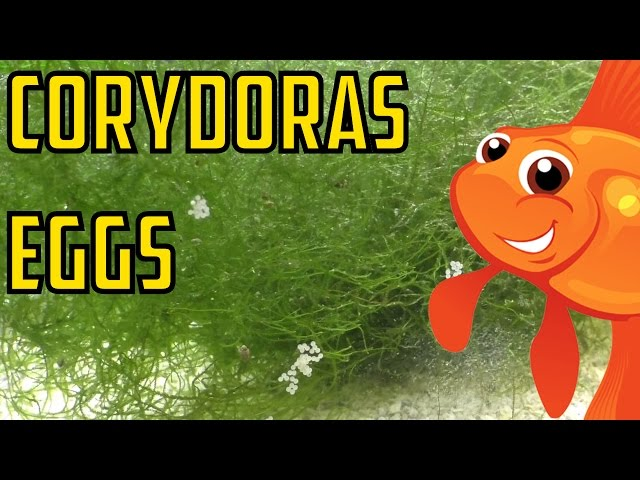 How to Collect Corydora Eggs. Getting eggs off the glass using a.
