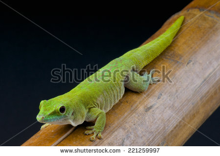 Day Gecko Stock Images, Royalty.