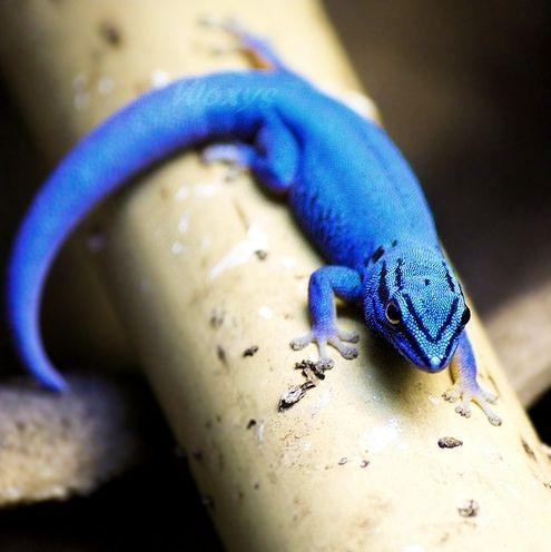 1000+ ideas about Blue Lizard on Pinterest.