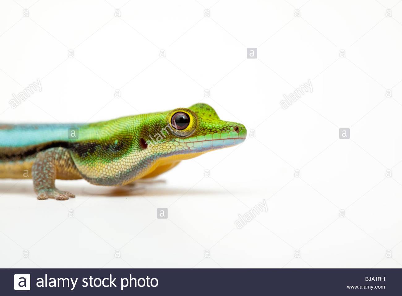 White Day Gecko Stock Photos & White Day Gecko Stock Images.