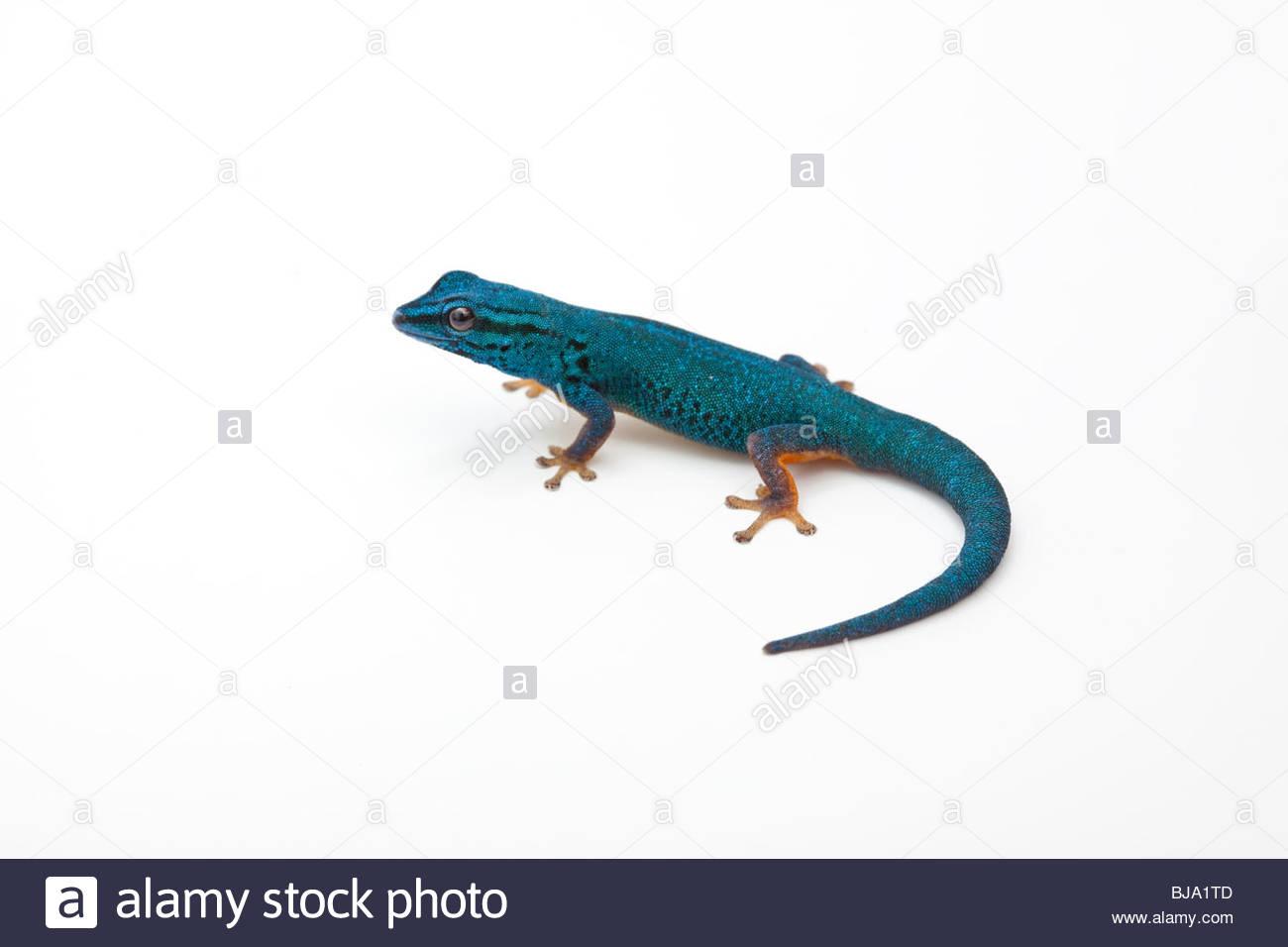 Electric Blue Gecko Stock Photos & Electric Blue Gecko Stock.