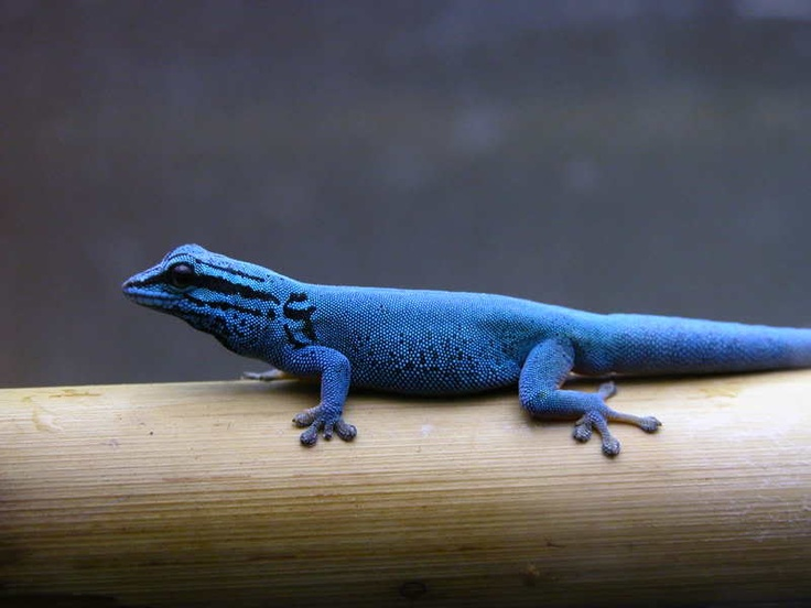 1000+ images about Geckos on Pinterest.