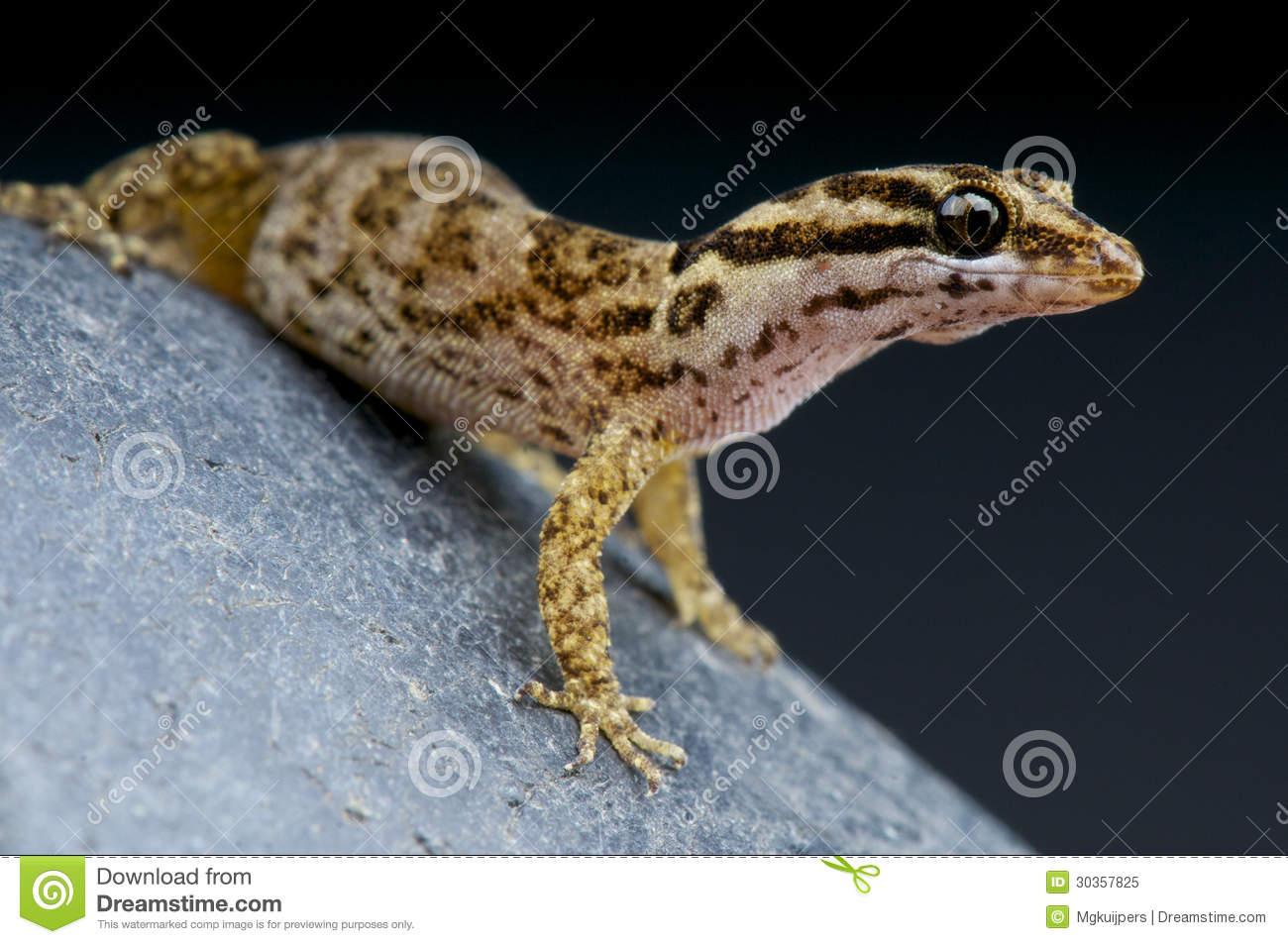 Aruba Gecko / Gonatodes Antillensis Royalty Free Stock Photo.